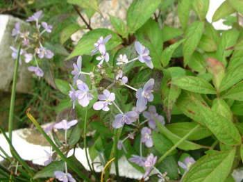 山紫陽花(剣の舞Ⅱ)