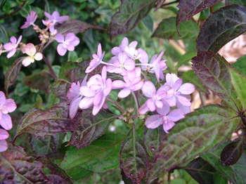 山紫陽花(剣の舞)